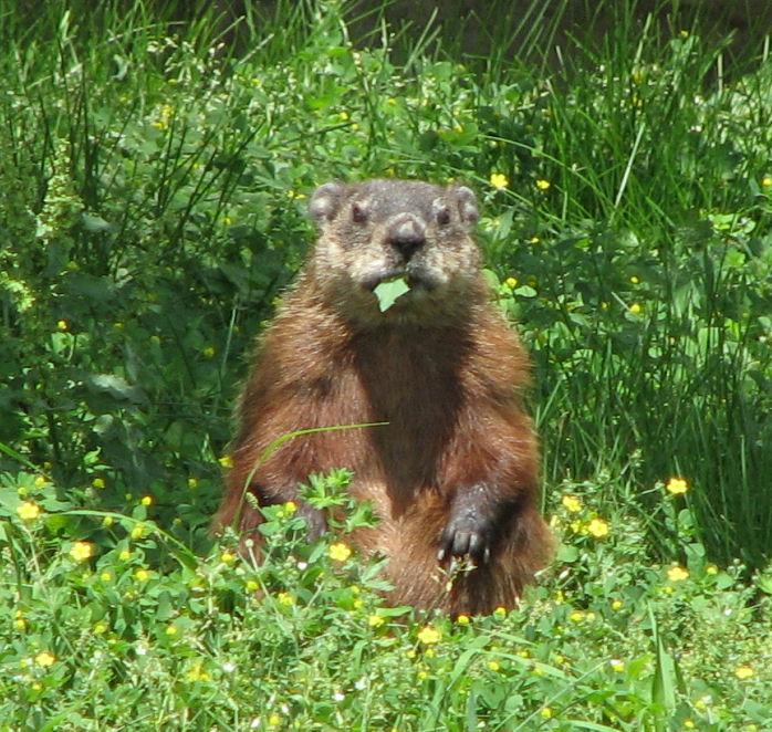 Groundhog,_eating